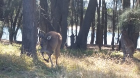 This photo was taken on Heirisson Island, which is in the middle of the Swan River in Perth, Australia. Five wild kangaroos live on this island. I was able to get two feet away from one without concerning any of them. But when the amount of humans outnumbered them, they simultaneously got up and hopped away, which is when I took this photo.